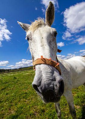 Long face horse