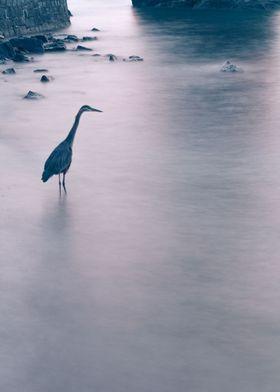 Blue Heron at dusk