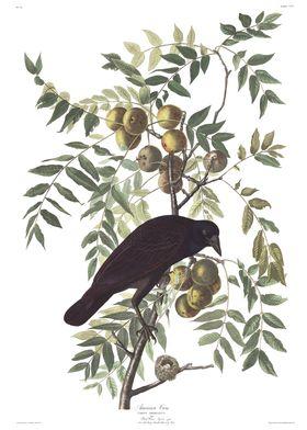 Crow  John James Audubon
