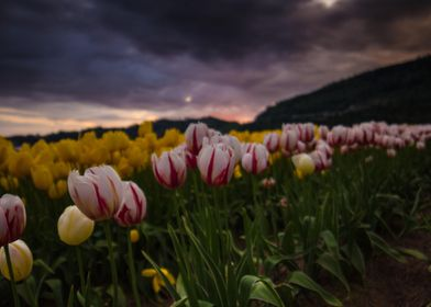 tulips under stormy skies