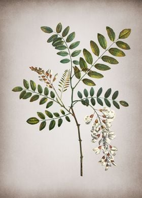 Vintage Acacia in Bloom