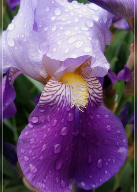 Raindrops on Iris