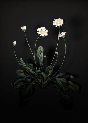 Shadowy Daisy Flowers