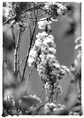 Blossoms BW
