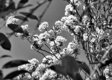 Blossoms wide BW