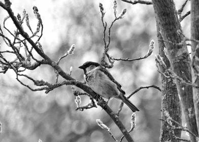 Sparrow Blossoms BW