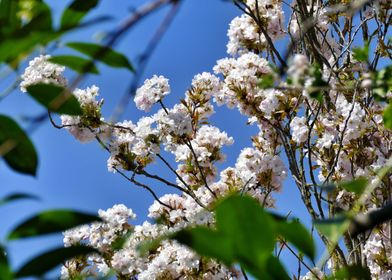 Blossoms wide