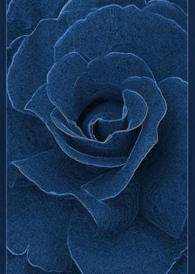 Velvet blue rose