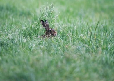 Hare in Meadow