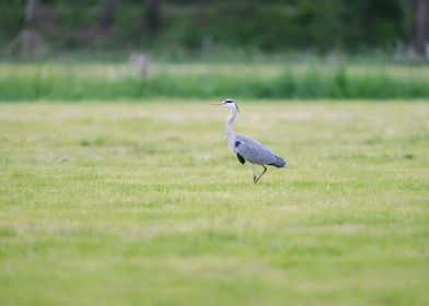 Alert Grey Heron