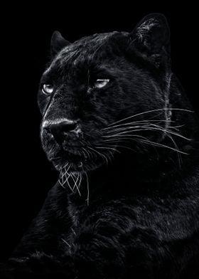 wild Black panther