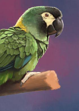Yellow Collared Macaw