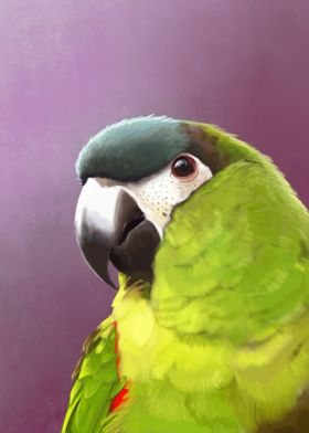 Hahns Macaw