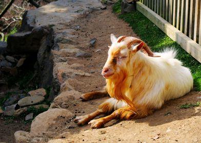 goat siesta
