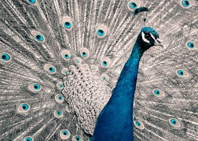 Peacock color poster