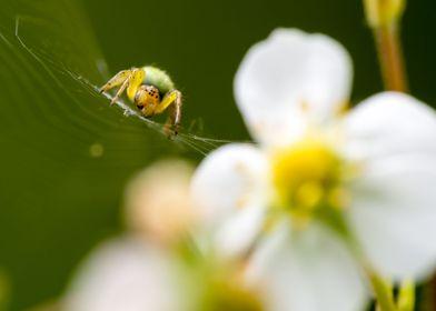 Lurking spider