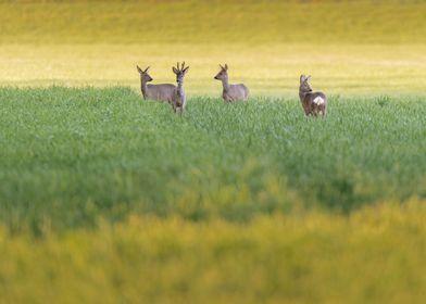 Four roe deer