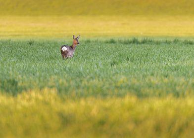 Roe deer doe at sunset