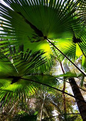 GREEN FAN TREES