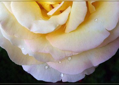Yellow pink petals
