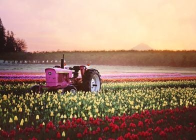 pink tractor in tulips