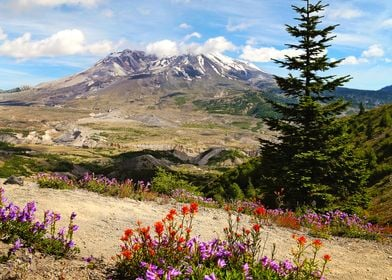 Mt St Helens wildflowers