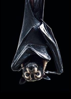 a wild bat poster  cool