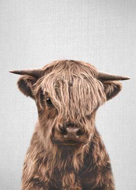 Highland Calf Colorful