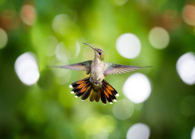 Hummingbird frontal
