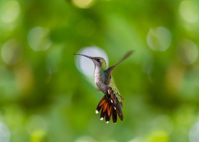 Hummingbird sideview