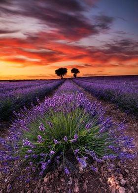 Lavender spirits