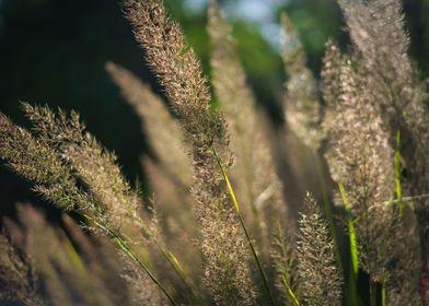 Long Gras