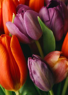 purple orange tulips