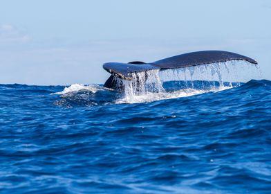 Flukes Humpback Whale