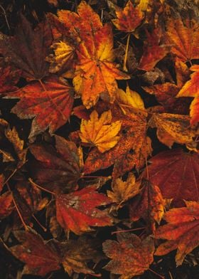 Psychedelic Maple Leaves