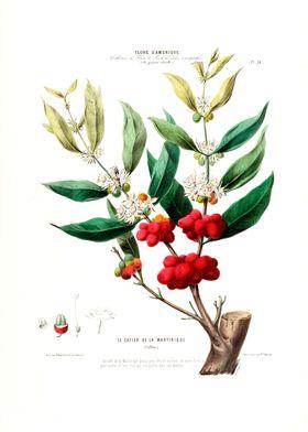 Cafier Martinique Botanica