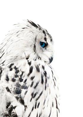 wild white owl poster