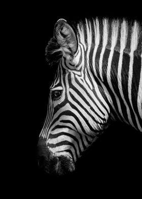 wild zebra hea black white