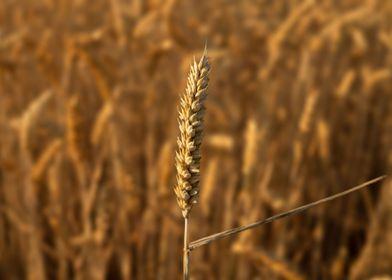 Grain Field in Holland
