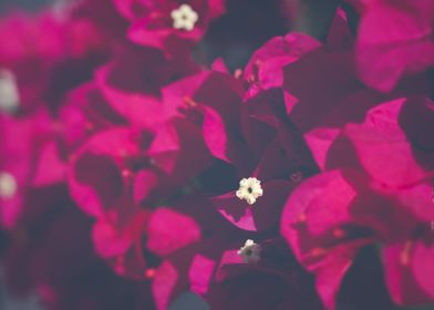 bougainvillea in pink
