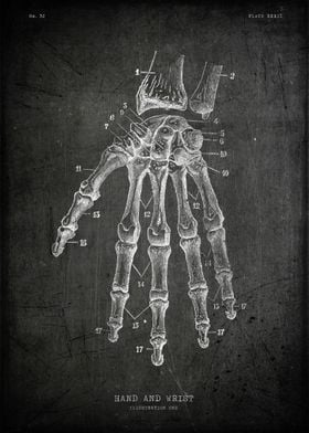 Human hand and wrist