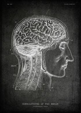 Convolutions of the brain
