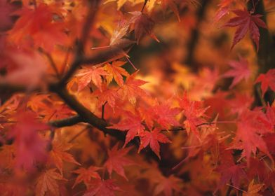 Japanese Maple Foliage 01