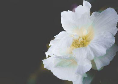 Malva in white