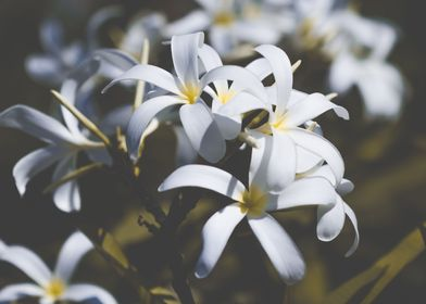 Frangipangi in white