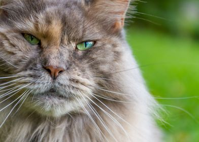blue Maine Coon Cat Naomi