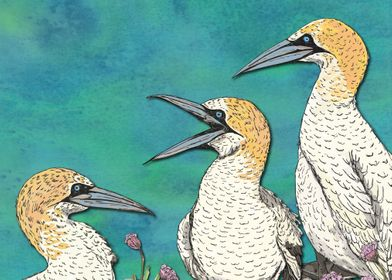 A Gaggle of Gannets