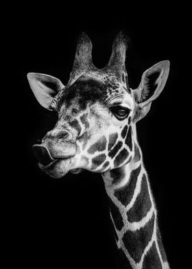 wild cool giraffe poster