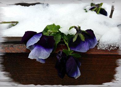 Pansy under snow