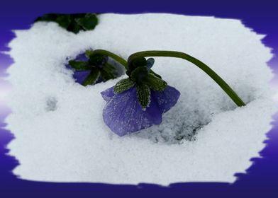 Purple pansy on the snow
